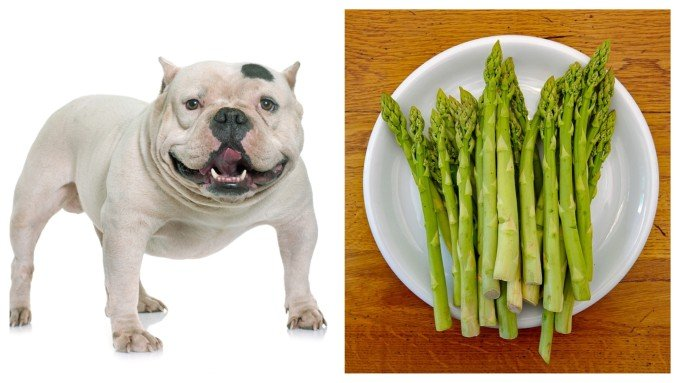 Can Dogs Eat Asparagus? Is It Healthy for Them? ⋆ American Bully Daily