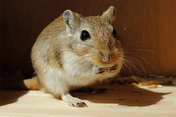 Can Gerbils Eat Lettuce: Why Variety Matters in a Gerbil Diet – Small Pets 101