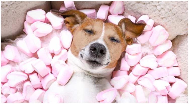 Can Dogs Eat Marshmallows? - Golden Retriever Club