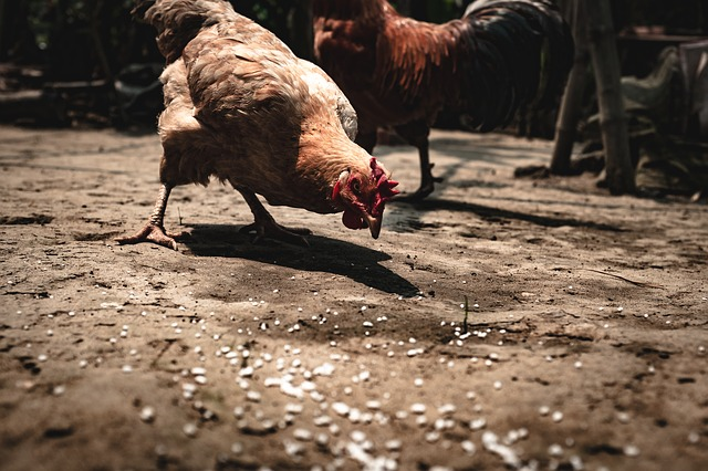 Feeding Chicken Scratch to Your Backyard Chickens (How-To Guide)