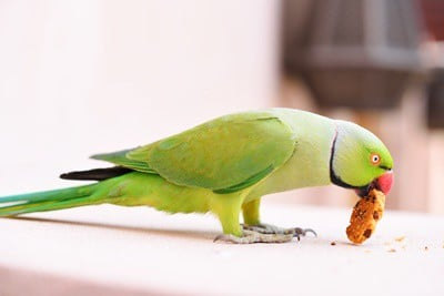 Are Biscuits Good For Parrots? — All About Parrots