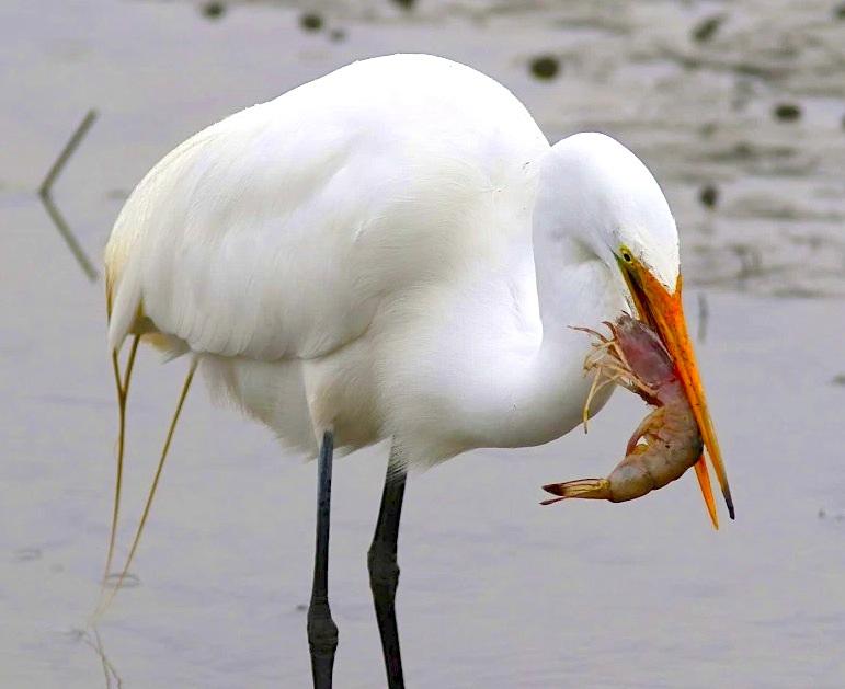 Egret eats shrimp | ROLLING HARBOUR ABACO