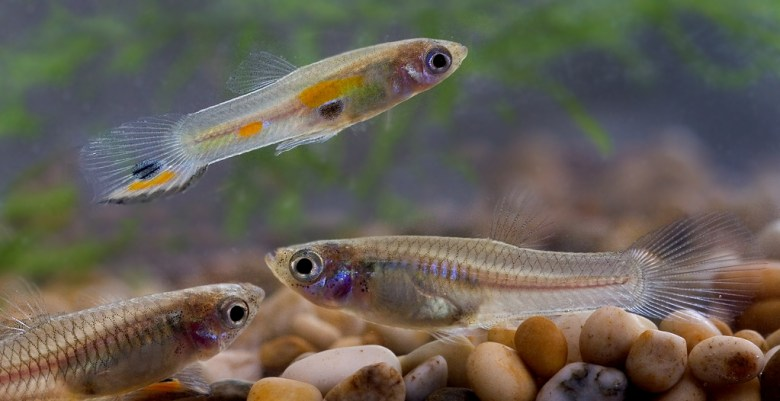 Why Wild Male Guppies are Orange | The Common Naturalist