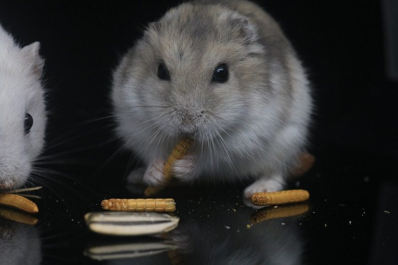What Human Foods Can Hamsters Eat? | Pet Keen