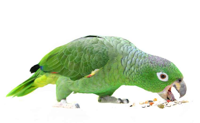 Seed for Parrots | Parrot Food | Parrots | Guide | Omlet UK