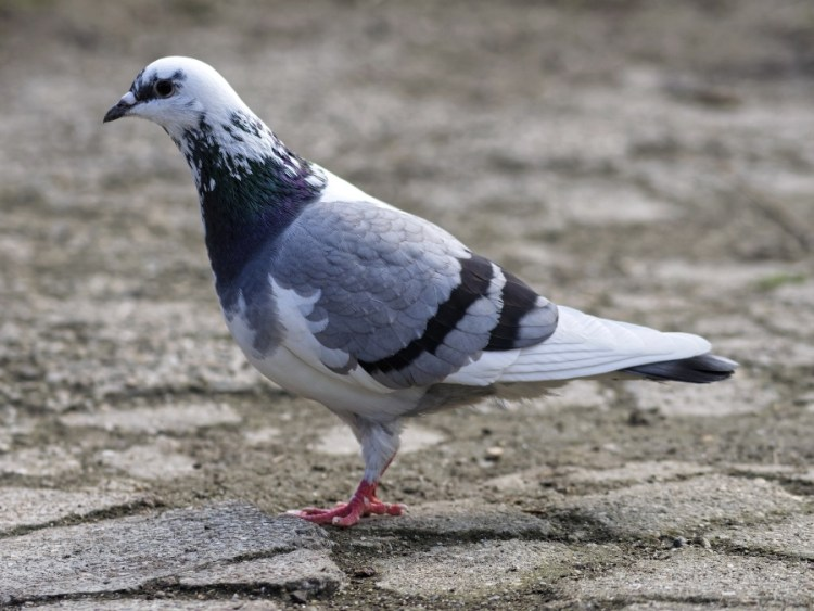 What do pigeons like to eat? What's good for them? – Critter clean out