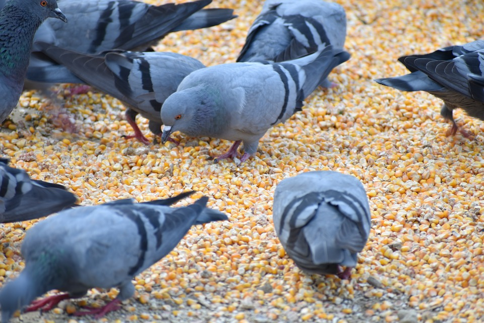Pigeons Eating Corn - Free photo on Pixabay