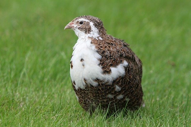 What Do Quails Eat? (Quail Diet List) | Bird Feeder Expert