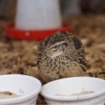 What Do Quails Eat? The Ultimate Quail Feed Guide -