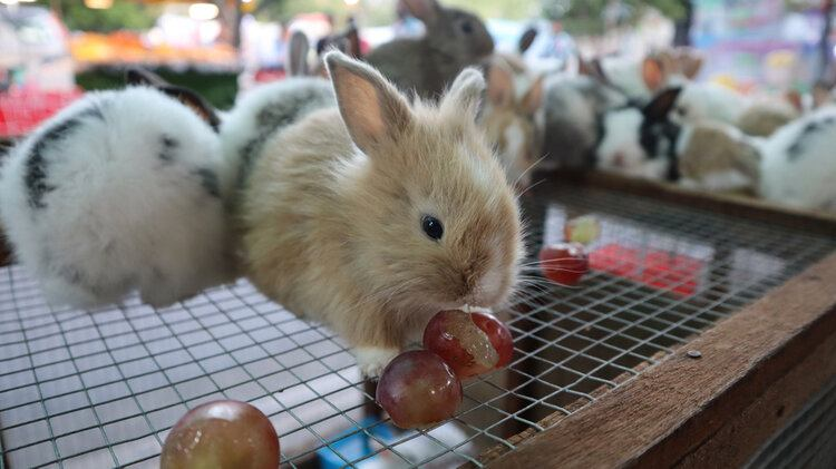 Can Rabbits Eat Grapes? What You Need to Know! | Pet Keen