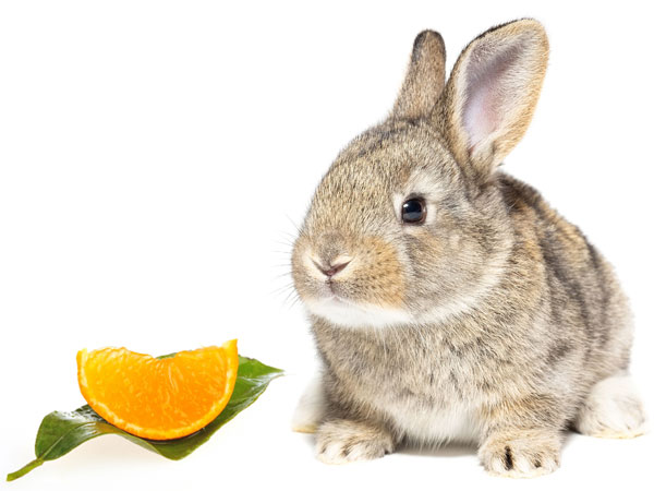 Can Rabbits Eat Oranges? 5 Things to Consider - VIVO Pets
