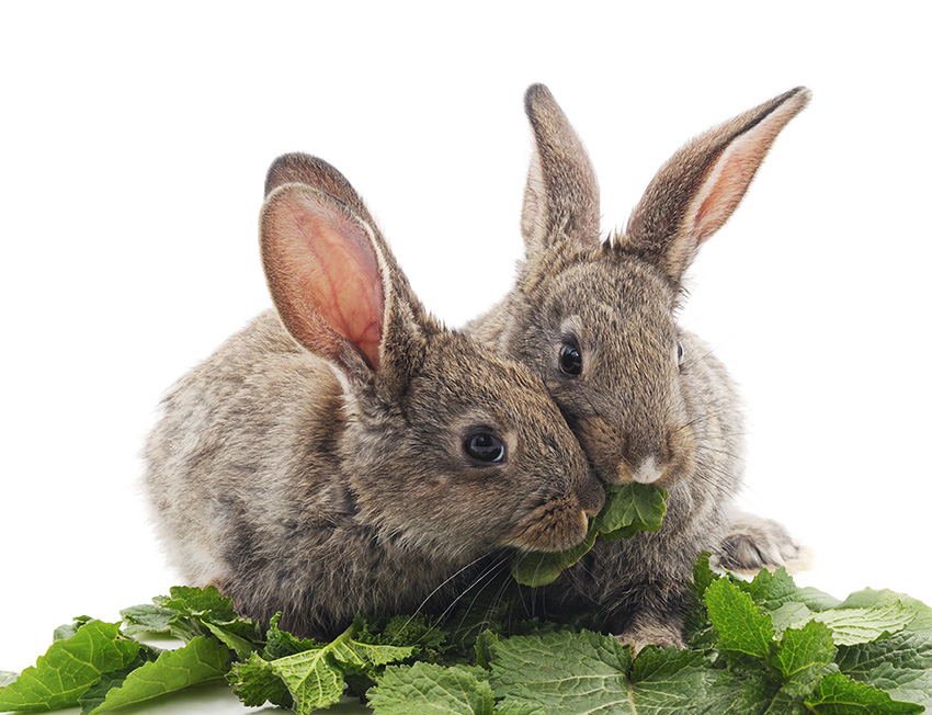 Rabbits should eat a carrot a day – and other bunny myths | Burgess Pet Care