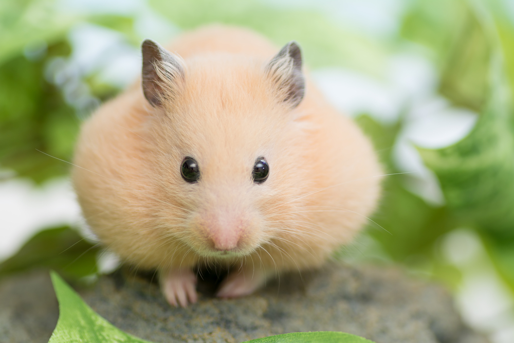 What food can hamsters eat? | Burgess Pet Care
