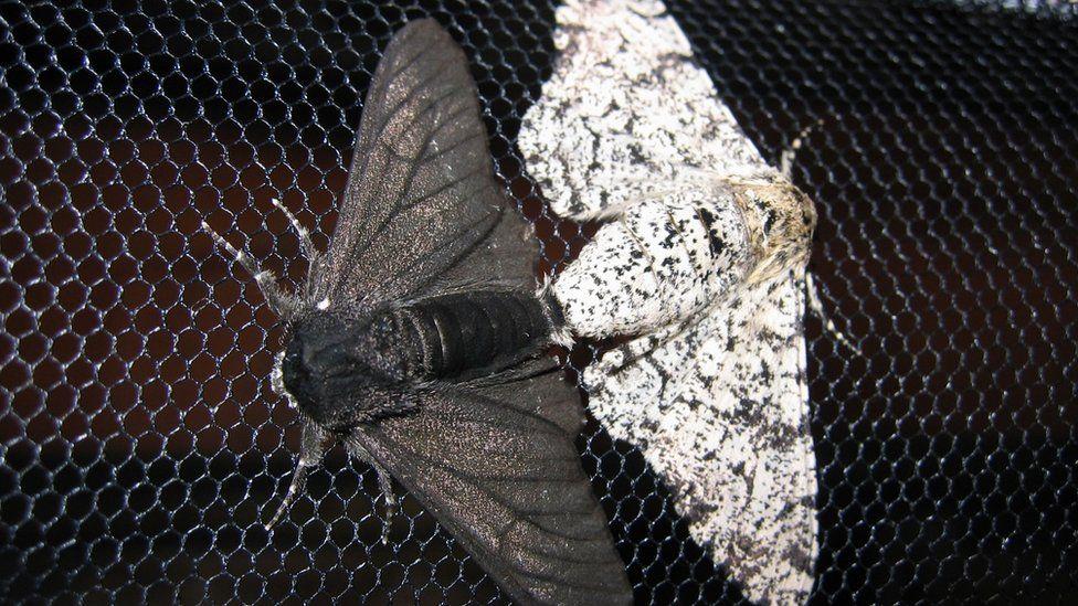 Famous peppered moth's dark secret revealed - BBC News
