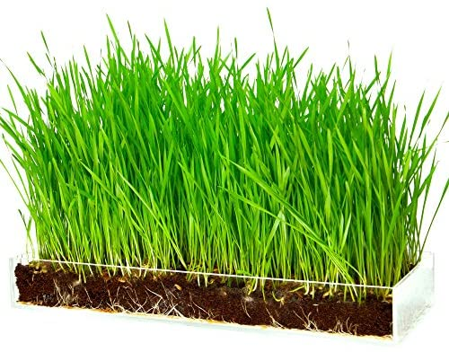 Amazon.com : Window Garden Organic Wheatgrass Grow n Serve Kit– Plant an  Amazing Wheat Grass Home Garden, Juice Healthy Shots, Great for Pets, Cats,  Dogs. Complete with Stunning Tray : Patio, Lawn
