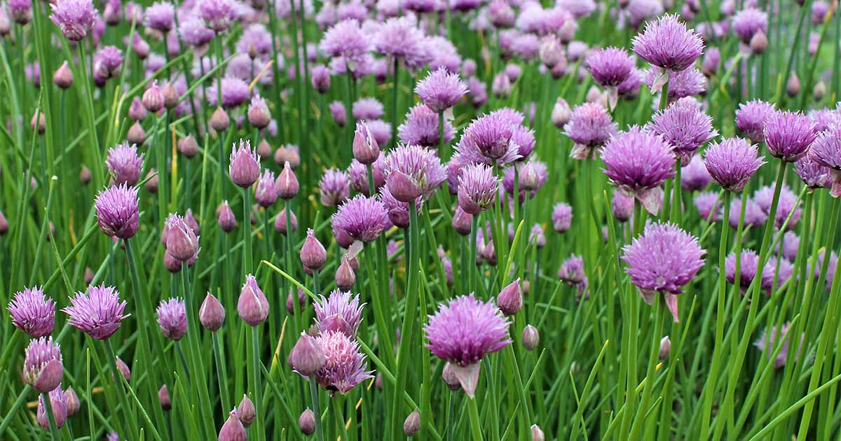 How to Grow Chives in the Herb Garden | Gardener's Path