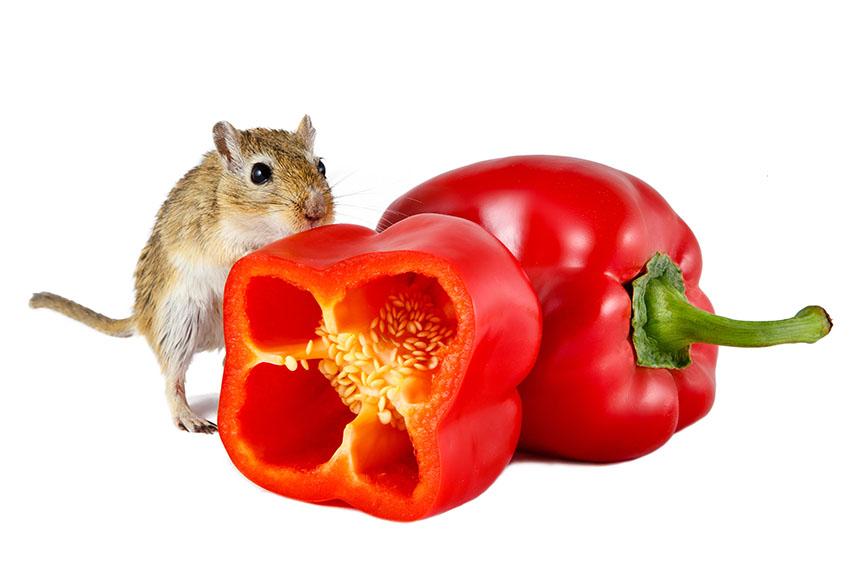What Human Food Can Gerbils Eat?   Gerbil Food   Gerbils   Guide   Omlet US